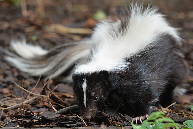 Flo The Skunk Arrives At Edinburgh Zoo