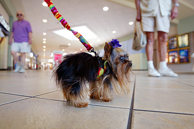 Yorkshire Terrier Vies For Title Of World's Smallest Dog